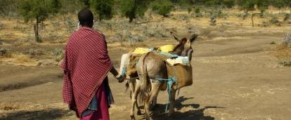 A Maasai herder cares for cattle at a village where volunteers participate in cultural immersion programmes in Tanzania.